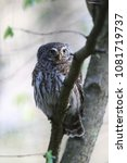 eurasian pygmy owl swabian jura ... | Shutterstock . vector #1081719737