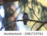 eurasian pygmy owl swabian jura ... | Shutterstock . vector #1081719761