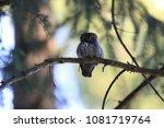 eurasian pygmy owl swabian jura ... | Shutterstock . vector #1081719764