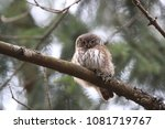 eurasian pygmy owl swabian jura ...   Shutterstock . vector #1081719767