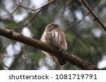 eurasian pygmy owl swabian jura ... | Shutterstock . vector #1081719791