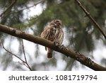eurasian pygmy owl swabian jura ... | Shutterstock . vector #1081719794