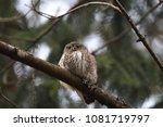 eurasian pygmy owl swabian jura ... | Shutterstock . vector #1081719797
