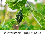 bitter gourd with leaves  ... | Shutterstock . vector #1081726535
