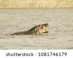 african hippopotamus  south... | Shutterstock . vector #1081746179
