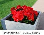 red geranium in decorative...   Shutterstock . vector #1081768049