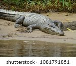 australian saltwater crocodile at daintree river, queensland
