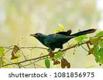 the male asian koel watching... | Shutterstock . vector #1081856975
