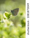 Holly Blue Butterfly  ...