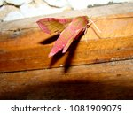 "Small photo of This lovely pink moth is the ""Small elephant hawk moth"" scientifically known as ""Deilephila porcinus"""