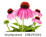 Coneflowers Isolated On White...