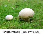 Calvatia Gigantea Mushroom...