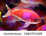 squareback anthias   squarespot ... | Shutterstock . vector #1081951409