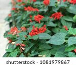 spring in hong kong there is a...   Shutterstock . vector #1081979867