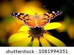 Vanessa Cardui Butterfly   ...