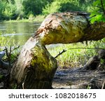 a tree poked with beavers | Shutterstock . vector #1082018675