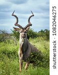 Small photo of Greater kudu in Kruger national park, South Africa ; Specie Tragelaphus strepsiceros family of Bovidae