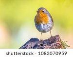 cute red robin  erithacus...   Shutterstock . vector #1082070959