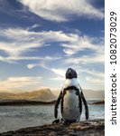 Small photo of African penguin at Boulders beach during sunset