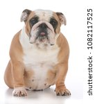 Stock photo female english bulldog on white background 1082117525