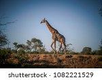 A Giraffe Crossing A Clearing...
