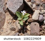 Small photo of Desert flower Diplotaxis acris, selective focus on the flower