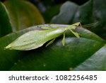 beautiful leaf insect from... | Shutterstock . vector #1082256485