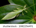 beautiful leaf insect from... | Shutterstock . vector #1082256491