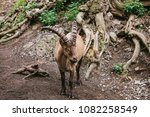 caucasian mountain goat with... | Shutterstock . vector #1082258549