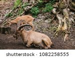 the caucasian mountain goat... | Shutterstock . vector #1082258555