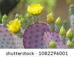 Purple Santa Rita Prickly Pear...