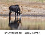 Sable Antelope Drinking Water