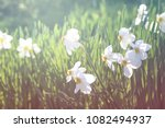white flowers of daffodils with ... | Shutterstock . vector #1082494937