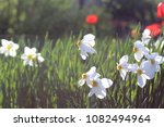 white flowers of daffodils with ... | Shutterstock . vector #1082494964