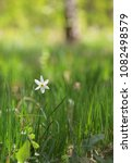 single wild daffodils on field | Shutterstock . vector #1082498579