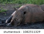 white rhino wallowing in the... | Shutterstock . vector #1082511329