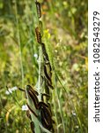 Small photo of A group of pine tree processionary caterpillars in the Alta Murgia National Park (Italy)