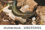beautiful lizard closeup  macro ...   Shutterstock . vector #1082553431