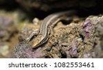beautiful lizard closeup  macro ...   Shutterstock . vector #1082553461