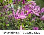 magnolia flowers  pink spring... | Shutterstock . vector #1082625329