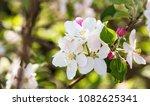 beautiful apple flowers... | Shutterstock . vector #1082625341