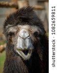 camel portrait in private zoo   Shutterstock . vector #1082659811