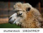 camel portrait in private zoo   Shutterstock . vector #1082659829
