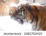 bengal tiger or panthera tigris ... | Shutterstock . vector #1082703425