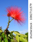 Small photo of Red inflorescence flower of a calliandra against a blue sky, also known by the names powder puff and fairy duster