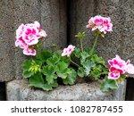 flowers on stones | Shutterstock . vector #1082787455