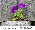 flowers on stones | Shutterstock . vector #1082787485