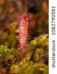 drosera anglica  commonly known ...   Shutterstock . vector #1082790581