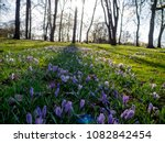 crocuses in the lawn. oslo.... | Shutterstock . vector #1082842454