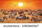 Groupe Of Wild Zebras And...